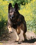 Running belgian shepherd. Belgian shepherd is running in a seed field Royalty Free Stock Photo