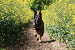 Running belgian shepherd. Belgian shepherd is running in a seed field Royalty Free Stock Photos