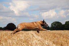 Belgian shepherd is running on a stubble field. In the sunshine Stock Photos
