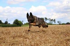 Running belgian shepherd on a field. Belgian shepherd is running on a stubble field Stock Image