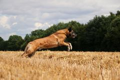Belgian shepherd is running on a stubble field. In the sunshine Stock Photography