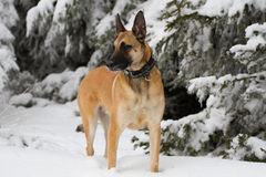 A Belgian shepherd in the snow. A Malinois in winter standing in the snow Royalty Free Stock Image