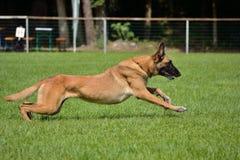 Belgian Shepherd sprints Royalty Free Stock Photo
