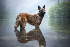 Belgian shepherd is standing in water. Dog in a mountain scenery with foggy mood. Hiking with mans best friend to lake. stock image