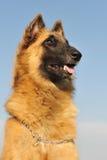 Belgian shepherd tervueren Stock Image