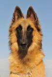 Belgian shepherd tervueren Stock Photos