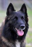 Belgian shepherd tervueren Royalty Free Stock Photos