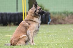 Belgian shepherd tervuren. Animal dog belgian shepherd tervuren outdoors Stock Image