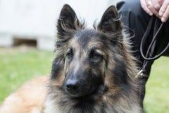 Belgian shepherd tervuren. Animal dog belgian shepherd tervuren outdoors Stock Photography
