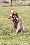 Belgian shepherd tervuren. Animal dog belgian shepherd tervuren outdoors Royalty Free Stock Images