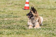 Belgian shepherd tervuren. Animal dog belgian shepherd tervuren outdoors Royalty Free Stock Photo