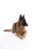 Belgian Shepherd Tervuren laying down Royalty Free Stock Photo