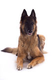 Belgian Shepherd Tervuren laying down, white studio backgr Royalty Free Stock Images