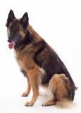 Belgian shepherd Tervuren bitch Stock Photo