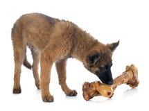 Belgian Shepherd Tervuren and bone Stock Image