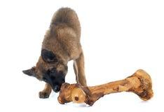 Belgian Shepherd Tervuren and bone Stock Photo