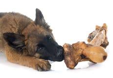 Belgian Shepherd Tervuren and bone Stock Photos