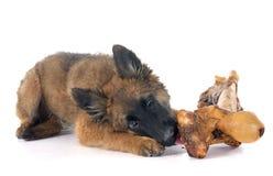 Belgian Shepherd Tervuren and bone Royalty Free Stock Image