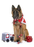Belgian shepherd tervuren and christmas Royalty Free Stock Photo