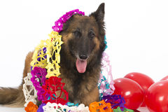 Belgian Shepherd Tervuren dog with balloons and garlands, isolat Stock Images
