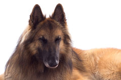 Belgian Shepherd Tervuren, dog, laying down Stock Images
