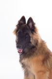 Belgian Shepherd Tervuren dog puppy, six months old, headshot Royalty Free Stock Photo