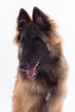 Belgian Shepherd Tervuren dog puppy, six months old, headshot Stock Image