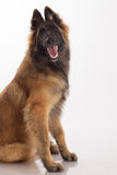 Belgian Shepherd Tervuren dog puppy, six months old, sitting, wh Royalty Free Stock Photo