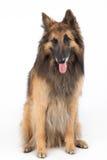 Belgian Shepherd Tervuren Dog sitting Royalty Free Stock Image