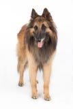 Belgian Shepherd Tervuren Dog standing Royalty Free Stock Photos