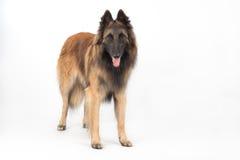 Belgian Shepherd Tervuren Dog standing Royalty Free Stock Images