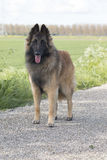 Belgian Shepherd Tervuren, dog, standing Royalty Free Stock Photography