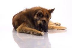 Belgian Shepherd Tervuren dog, white studio background Royalty Free Stock Images