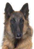 Belgian shepherd tervuren Stock Images