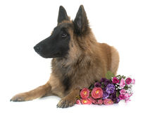 Belgian shepherd tervuren. In front of white background Royalty Free Stock Photo