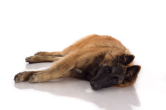 Belgian Shepherd Tervuren puppy lying down on shiny white floor Royalty Free Stock Photography