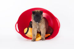 Belgian Shepherd Tervuren puppy in plastic basket Stock Images