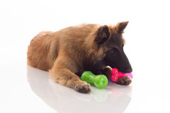 Belgian Shepherd Tervuren puppy, shiny white flo Stock Images