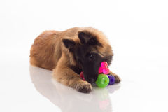 Belgian Shepherd Tervuren puppy, shiny white floor Stock Photography
