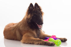 Belgian Shepherd Tervuren puppy, six months old, shiny white flo Royalty Free Stock Photography