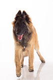 Belgian Shepherd Tervuren puppy standing, white studio backgroun Royalty Free Stock Photo