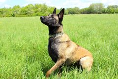 Belgian shepherd waiting for an order. From his master Royalty Free Stock Images