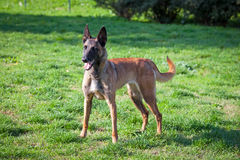 Belgian Shepherd Royalty Free Stock Photography