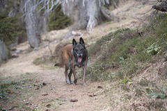 Belgian shepherd walking on path in forest Royalty Free Stock Photos