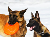 Belgian shepherds Royalty Free Stock Images