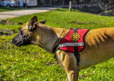 Belgian shepperd. Trained to save people from natural disasters with sign of Croatian Mountain Rescue Service Royalty Free Stock Image