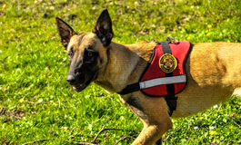 Belgian shepperd. Trained to save people from natural disasters with sign of Croatian Mountain Rescue Service Stock Photography