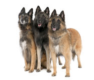Belgian Tervuren ( 6, 3 and 2 years old) Royalty Free Stock Photos