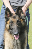 Belgian Tervuren Herding Dog Royalty Free Stock Photo
