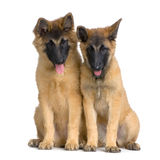 Belgian Tervuren Puppies Stock Photo